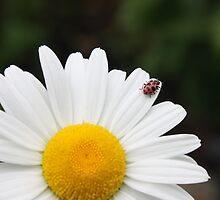 The Ladybug and the Daisy by CJ Bennett