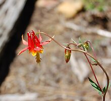 Wild Red Columbine Flower by BellaStarr