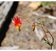 Wild Red Columbine Flower Photographic Print