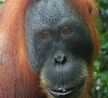 Mother Orangutan by Rebecca Conroy