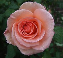 roses after the rain by Kaylene Passmore