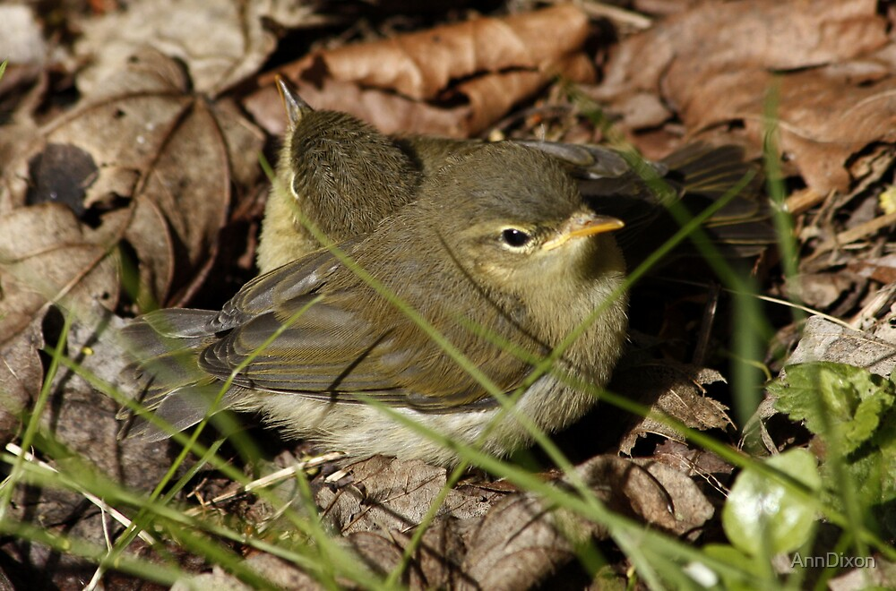 Willow or Wood Warblers  by AnnDixon