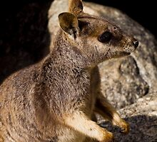 Rock Wallaby - Mareeba by Paul Davis