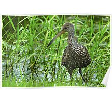 Limpkin in the grass Poster