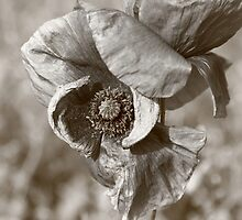 "Grey ""pipacs"" (Field Poppy) by zumi"