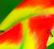 Heliconiun and Ants by Mukesh Srivastava