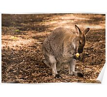 Joey at Healesville Sanctuary Poster