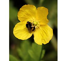 Yellow Poppy and Bumble Bee Photographic Print