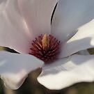 Magnolia by Luís Lajas