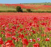 Field of red by zumi