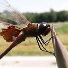 Friendly Dragonfly by Jennifer Potter