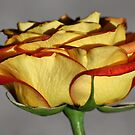 The Better Side of The Rose by Teresa Zieba