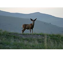 White Tail Buck on theBison Range Photographic Print