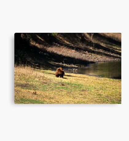 """Cinnamon"" Black Bear - On a Slope Canvas Print"