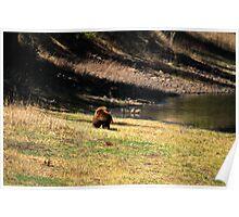 """Cinnamon"" Black Bear - On a Slope Poster"