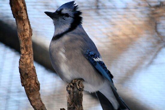 Blue Jay(Cyganocitta Cristata) by Larry Trupp
