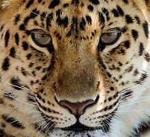 Leopard Portrait by Paulie-W