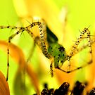 Green Lynx Spider by Dennis Stewart