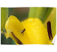 Fly on a Lily Poster