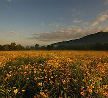 A Sea of Black Eyed Susans by Deb Campbell