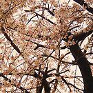 sakura by Aimerz