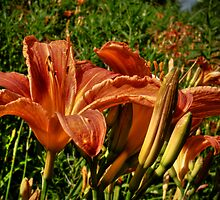 Tiger Lilies by Aaron Campbell