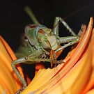 yum! yummy! I love Gerbera!!! by Rosy Kueng Photography