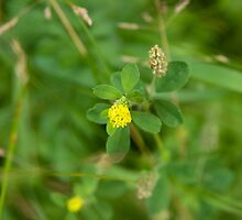 Least or Small Hop Clover (Trifolium dubium) by Mike Oxley