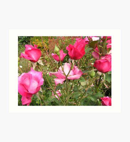 A blooming rose bush. Art Print