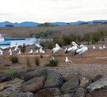 Pelicans at Werribee by Pauline Tims