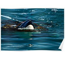 Play Time - Orca Whale Poster
