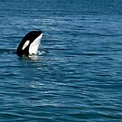 The Spy - Orca Whale  by Barbara Burkhardt