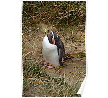 Fiordland Penguin ? Poster
