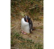 Fiordland Penguin ? Photographic Print