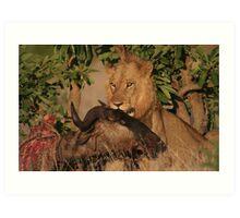 Lion Kill Art Print