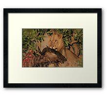 Lion Kill Framed Print