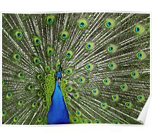 Peacock wide Poster