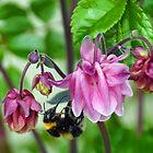 Bee on Aquilegae by lynn carter