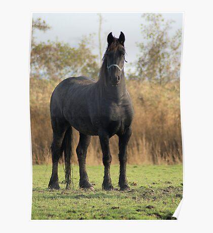 Beautifull baroc horse Poster