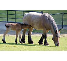 Belgian horse and foal Photographic Print