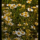 Daisies!! by Catherine Hadler