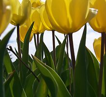 Yellow Tulips by pixiepogs