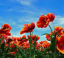 A field of Orange Tulips by Dipali S