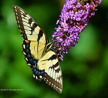 Papilio Glaucus - Eastern Tiger Swallowtail | Middle Island, New York by © Sophie W. Smith