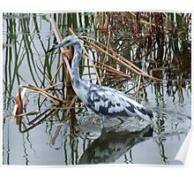 Small Blue Heron Poster