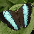 Giant Striped Morpho Butterfly by Alice McMahon