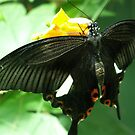 Black Swallowtail Butterfly by Alice McMahon