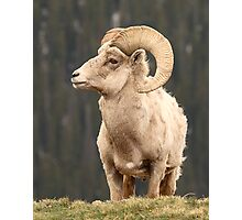 Bighorn Ram In A Moment Of Repose Photographic Print