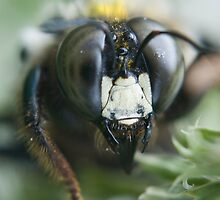 intimate portrait, carpenter bee by jude walton