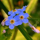 Forget-me-not  by ienemien